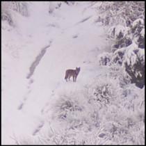 lupo - inverno