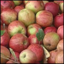 mele modificata 210x210 Agricoltura Biologica